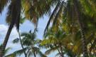 Una rassegna sulla palma da cocco