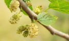 L'estratto di foglie di gelso migliora glicemia e risposta insulinica